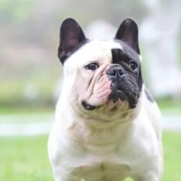 Bulldog Francês Fêmeas