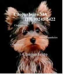 Yorkshire Terrier Micro com pedigree! Tenho fêmeas