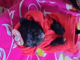 Linda filhote d sthizu , quase dois meses muito lindinha