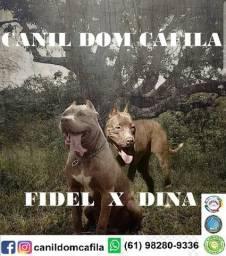 Filhotes de American Pit Bull Terrier