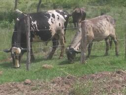 Vendo touro holandes
