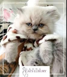 Gatos persas em até 12x