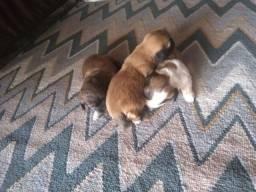 Filhotes Lhasa