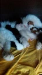 Filhotes de gatos Persas pai persa e mãe angora