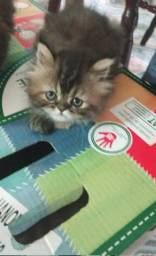 Gatos persa filhotes