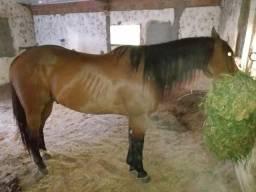Cavalo puro direirta
