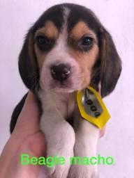 Beagle amigáveis com garantia