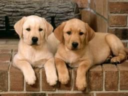 Belos filhotes de Labrador pronta entrega