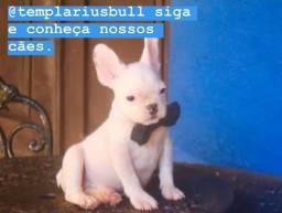 Bulldog Francês machinho todo vacinado