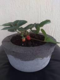 Muda de morango