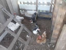 Troco por galinhas.