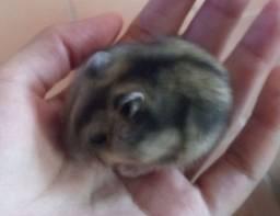 Filhote Fêmea de Hamster