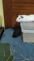 Oferta vende se dois porquinhos da índia machos jovens e bem cuidados e com tudo completo