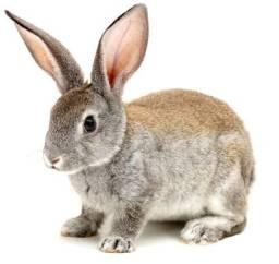 Vendo coelhos  reprodutores