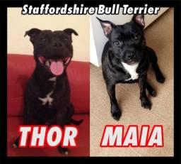 Filhotes de Staffordshire Bull Terrier