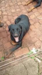 Barbada, Rottweiler fêmea, com 1 ano, com registro e pedigree.,