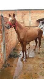 Vendo cavalo e potranco