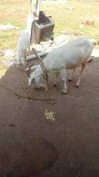 Vendo cabras 1400