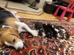 Filhotinhos de Beagle, compre com segurança e garantias!