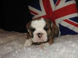 Bulldog Inglês a pronta entrega hoje!