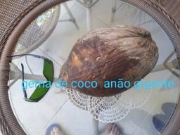 Coco anão gigante precoce
