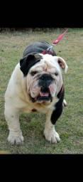 Bulldog inglês Black super exótico cobertura