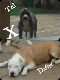 American Staffordshire Terrier com pedigree