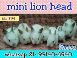 Mini coelhos Lion head
