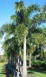 179 sementes da palmeira rabo de raposa
