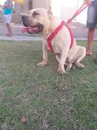 Pit moster disponível para cão super dócil com apenas 8 meses aceito propostas de trocas