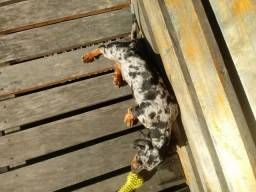 Vendo dachushund arlequim