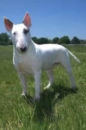 Bull Terrier Inglês para cruzar, que uma namorada