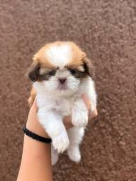 Shihtzu macho chocolate mini