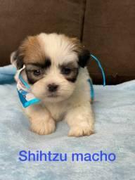 Shihtzu mini otima oportunidade entregamos pra você