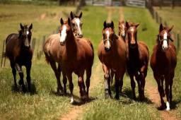 Gado e cavalos