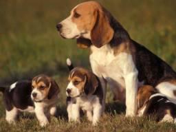 Beagle macho e femea