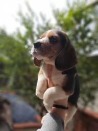Beagle Lindos Filhotes Pedigree Garantia de saúde !!!