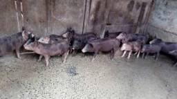 Porco Pietran e caipira