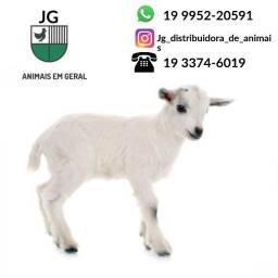 Cabra - Lote E unidade - Branca E Preta e outras cores