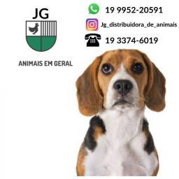 Beagle - Adulto e Filhote