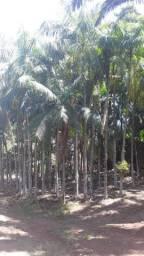 Palmeira Imperia