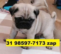 Canil Belíssimos Filhotes Cães BH Pug Maltês Shihtzu Beagle Bulldog Yorkshire