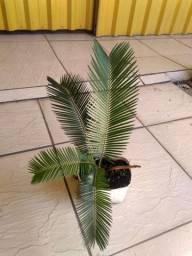 Mudas de palmeira Sagu