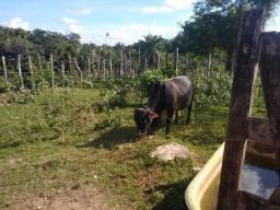 Mine vaca e mine boi