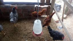 Vendo frangos graudo