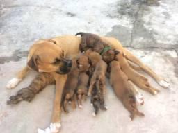 Filhotes da raça Boxer
