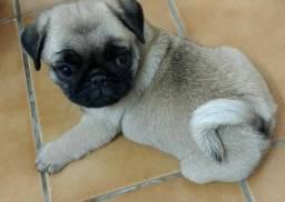 Pug | Pug Temos Pug! 96655.0687 ! + Brindes. Entrego
