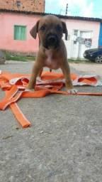 Vende-se cachorrinho rot vally
