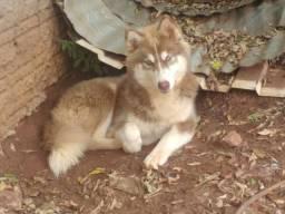 Husky Siberiano Fêmea
