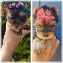 Yorkshire Terrier temos os mais variados tamanhos
